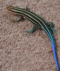 Blue_Tailed_Skink